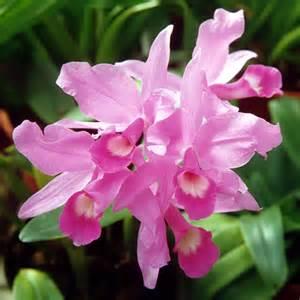 file a and b larsen orchids cattleya skinneri 431 6a jpg