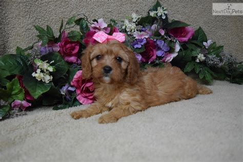 cavapoo puppies for sale missouri cavapoo puppy for sale near joplin missouri 3cd21342 47e1