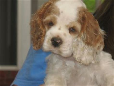 miniature cocker spaniel puppies for sale rescue puppies for sale photos florida atlanta puppies breeds picture
