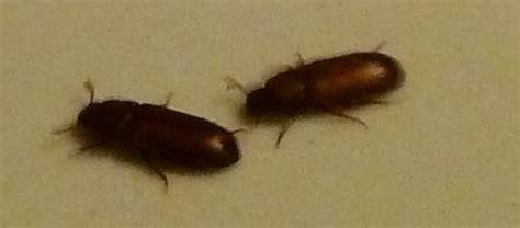 ces petites b 234 tes noires ont 233 lu domicile dans nos chambres le monde des insectes