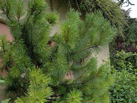 pino nano in vaso pino nano pinus pumila giardinaggio mobi
