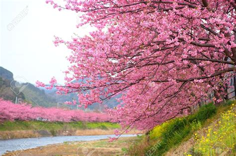 pink cherry blossom kawazu cherry tree in shizuoka japan stock photo picture and royalty free