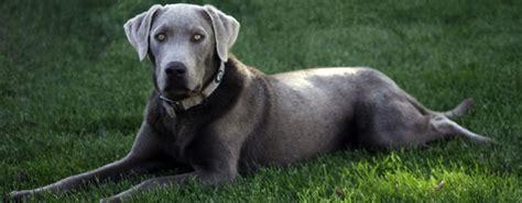 silver lab puppies colorado silverdors colorado silver labradors