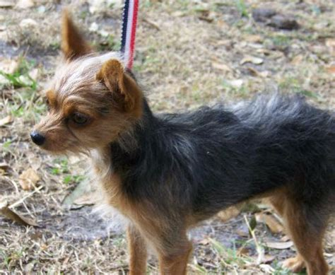 yorkies for sale in shreveport louisiana coat chihuahua mix view pet breeds picture