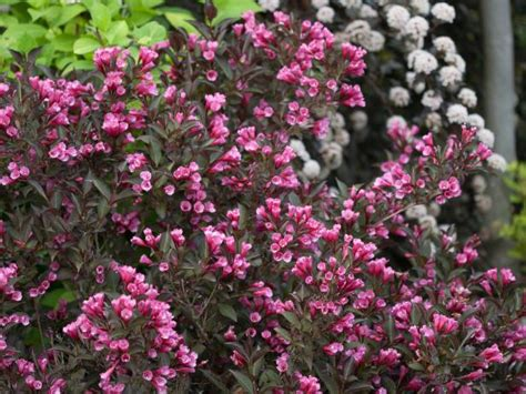 flowering shrubs all types sizes colors hgtv