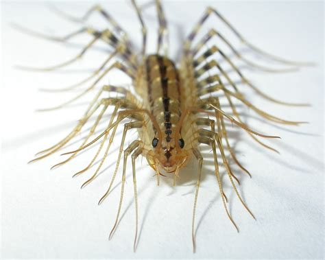centipede in house house centipedes in the greater sacramento area admin centipedes common pest problems home