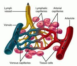 capillary bed definition continuous capillaries definition of continuous