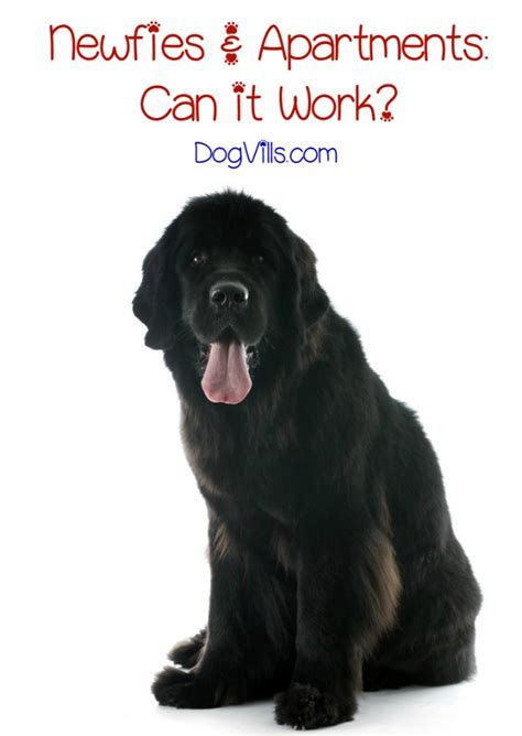 appartment dog is the newfoundland dog breed a good fit for apartment life