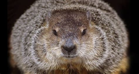 groundhog day brookfield zoo wallpaper archive
