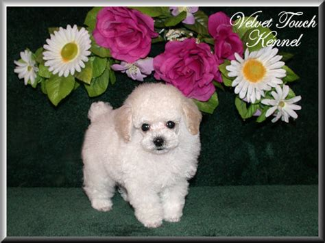 tiny teacup poodle puppies for sale teacup poodle puppies for sale teacup yorkie tiny design bild