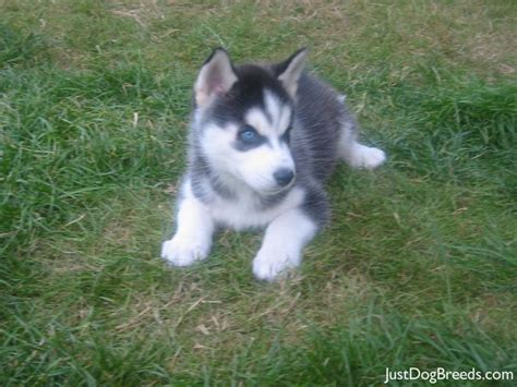 dogs similar to husky breeds similar to husky hd wallpapers and pictures