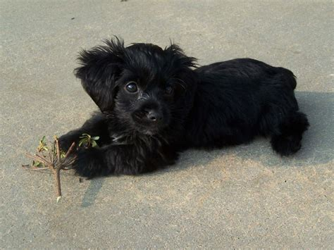 black yorkie dog hairstyles black yorkie poo puppy dog cute animals
