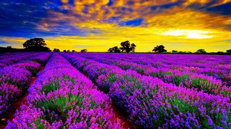 Pupuk Untuk Bunga Lavender galeri gambar bunga lavender yang indah pernik dunia