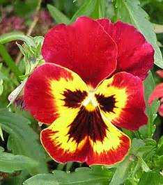 Inkspired musings the language of flowers pansy