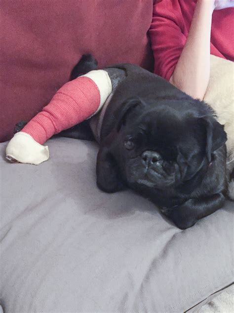 luxating patella in pugs the about pug puppies and backyard the