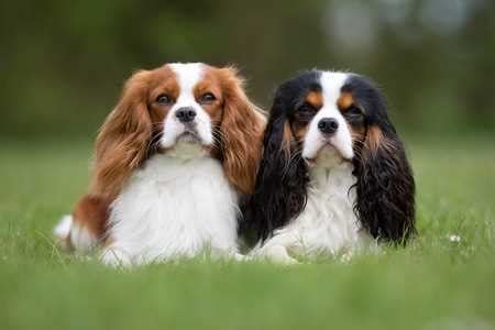 king charles breed cavalier king charles spaniel breed information