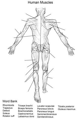 Dibujo de Ejercicio: Músculos del Cuerpo Humano Vista