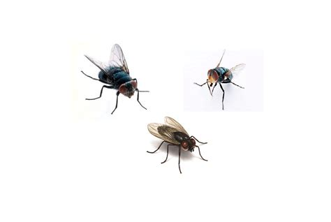 rid  flies permanently  natural fast ways