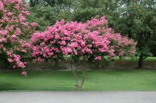 Dark Green Foliage Plants - crapemyrtle lagerstroemia indica in lincoln massachusetts ma at stonegate gardens