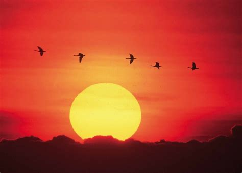 sunset  stock photo geese flying  front   setting sun
