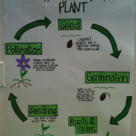 biography lesson plan for 2nd grade plant life cycle plant life cycle third grade science pinterest we