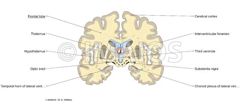 anatomical cross sectional area anatomical diagrams of the brain
