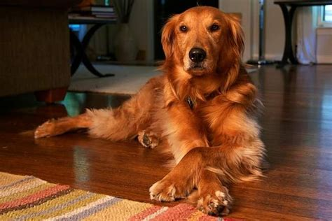 difference between a labrador and a golden retriever golden retriever vs labrador retriever difference and