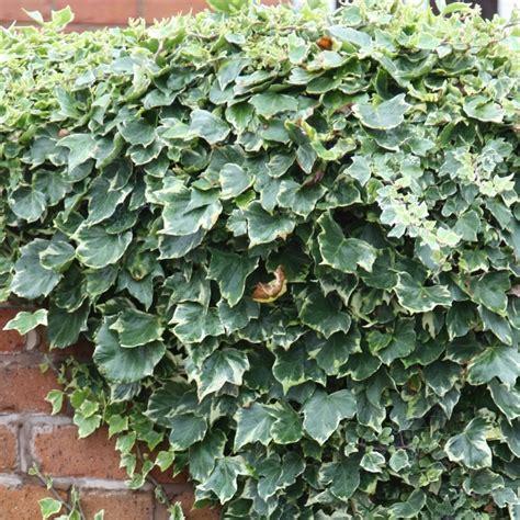 buy english ivy common ivy hedera helix glacier