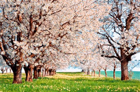 cherry blossom facts cherry blossom triva facts about cherry blossoms