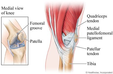inner side of shin bone knee muscles ligaments and tendons medial view