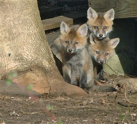 how to get rid of foxes in backyard get rid of foxes in backyard 28 images get rid of