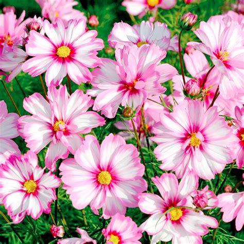 garden flower seeds cosmos seeds capriola flower seeds a to c flower