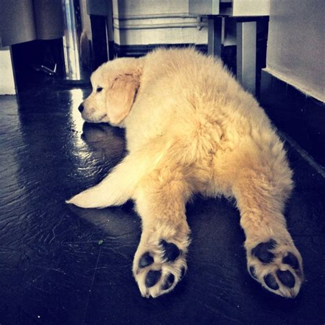 lazy puppy 40 best images about lazy dogs on
