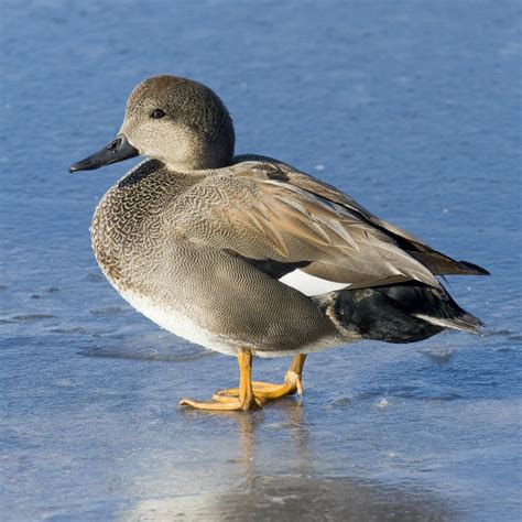 gadwall ducks purely poultry
