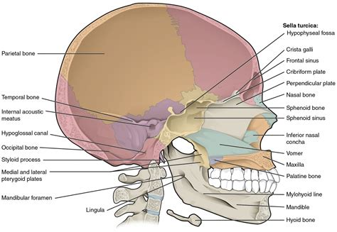 skull diagram parts of the skull anatomy human anatomy diagram