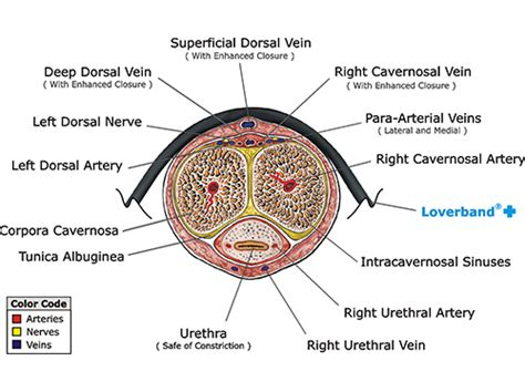 cross section of a penis medical technical facts the lover band
