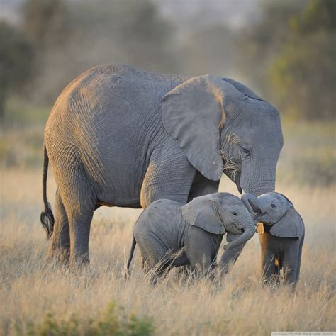 african elephant wallpaper  images