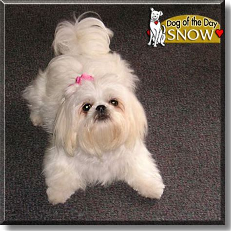 at what age does a shih tzu stop growing snow white shih tzu april 21 2005
