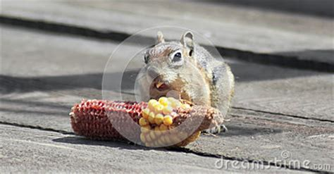 squirrels chewing decks a golden mantled squirrel corn on a deck stock photo image 58127231
