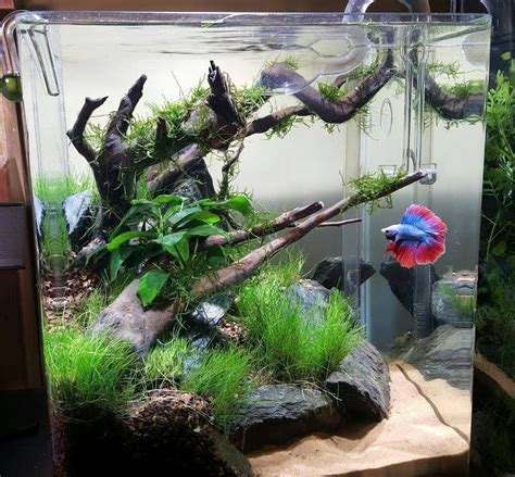 aquascape betta planted tank scenic cove by brian murphy aquascape
