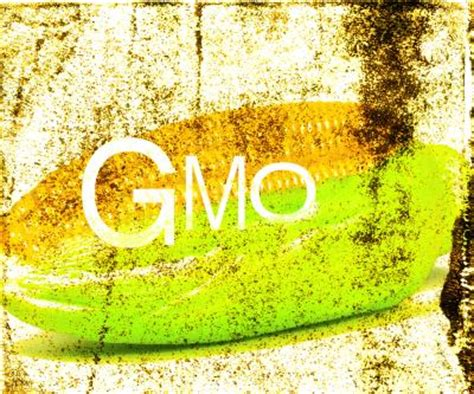 disadvantages  gmo sweet corn healthy eating sf gate