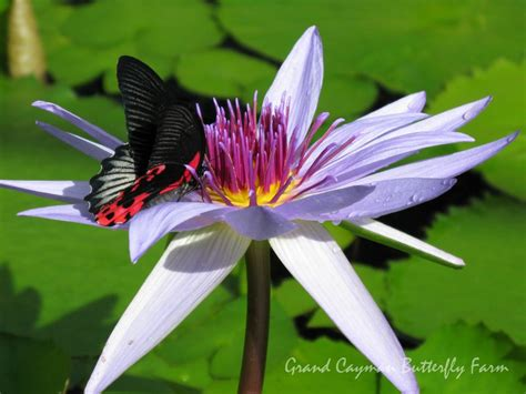 lotus and butterfly butterfly with lotus flower by divineroar on deviantart