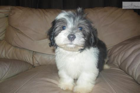 havanese personality havanese puppy for sale near tallahassee florida 172d3157 5b41