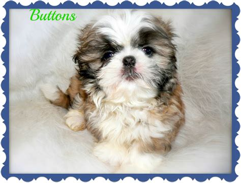 non allergic dogs list of small non shedding dogs breeds picture