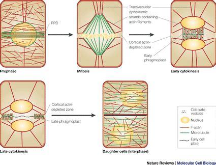 mitosis experimental design 4 liz andrea's biology portfolio