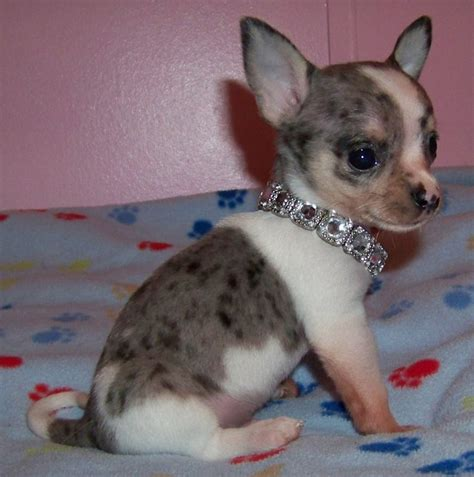 blue merle chihuahua puppies blue colored chihuahua breeds picture