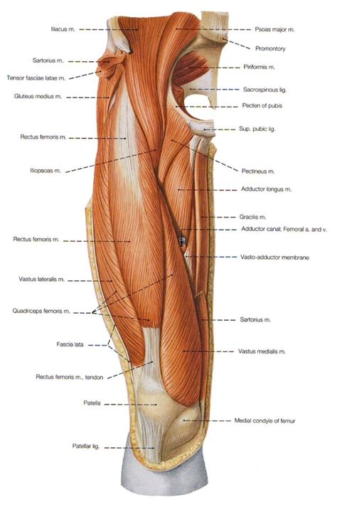 pulled groin diagram what to do for a pulled or strained hip flexor or groin