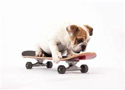 how to your to ride a skateboard how to an bulldog to ride a skateboard lovetoknow