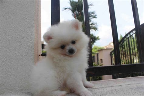 mini pomeranian puppies the gallery for gt white mini pomeranian puppies