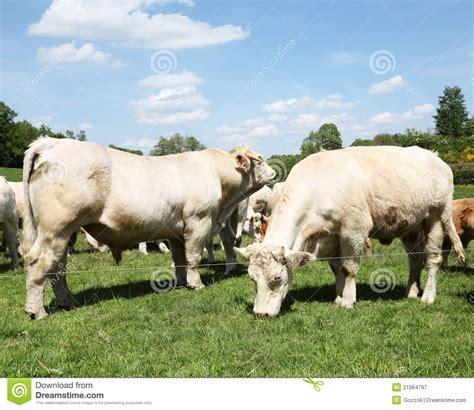 mucca charolaise le charolais bull et la vache photographie stock libre de